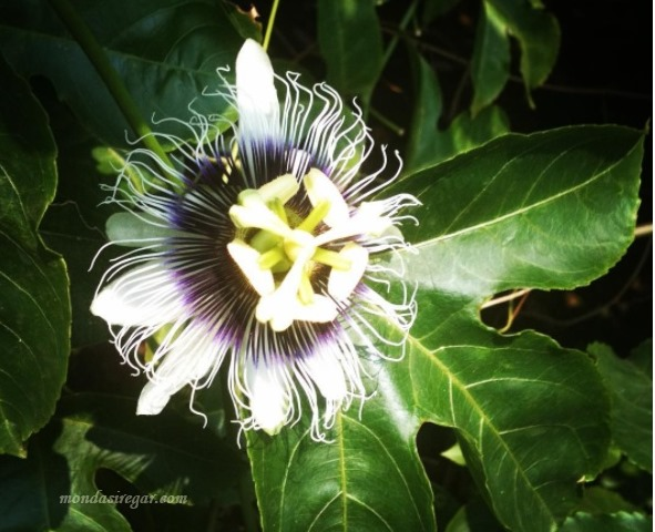 "bunga markisa ""Passion Fruit Flower"""