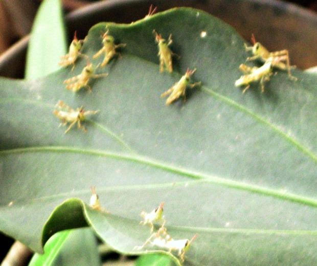 bayi belalang