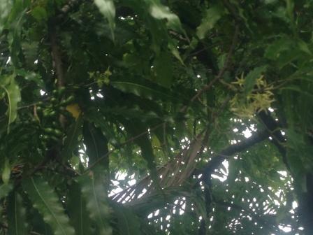 bunga pohon glodogan