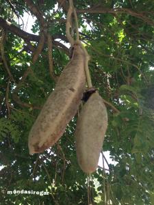 buah sosis - Kigelia