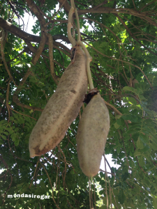 Kigelia pohon sosis