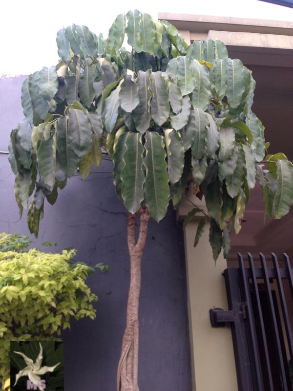 Walisongo Schefflera actinophylla