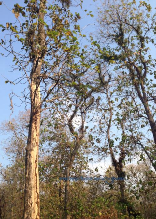 hutan jati Jawa Tengah