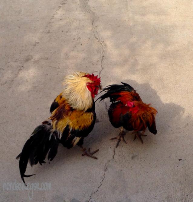 pertarungan ayam jago