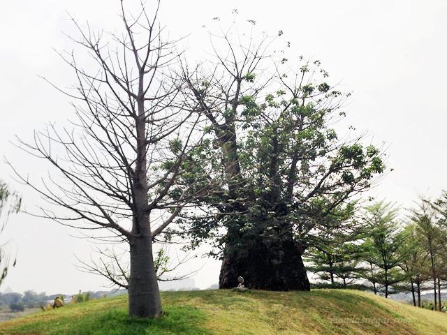 Baobab di Jakarta