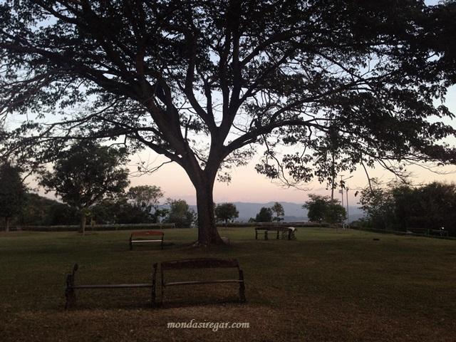 Pohon Trembesi Keraton Ratu Boko
