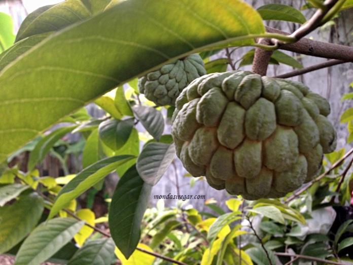manfaat dan khasiat buah nona, buah srikaya, manfaat buah nona untuk ibu hamil, Annona squamosa