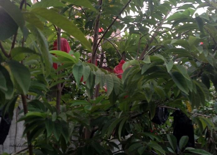 pohon buah nona, manfaat dan khasiat buah nona, Annona squamosa